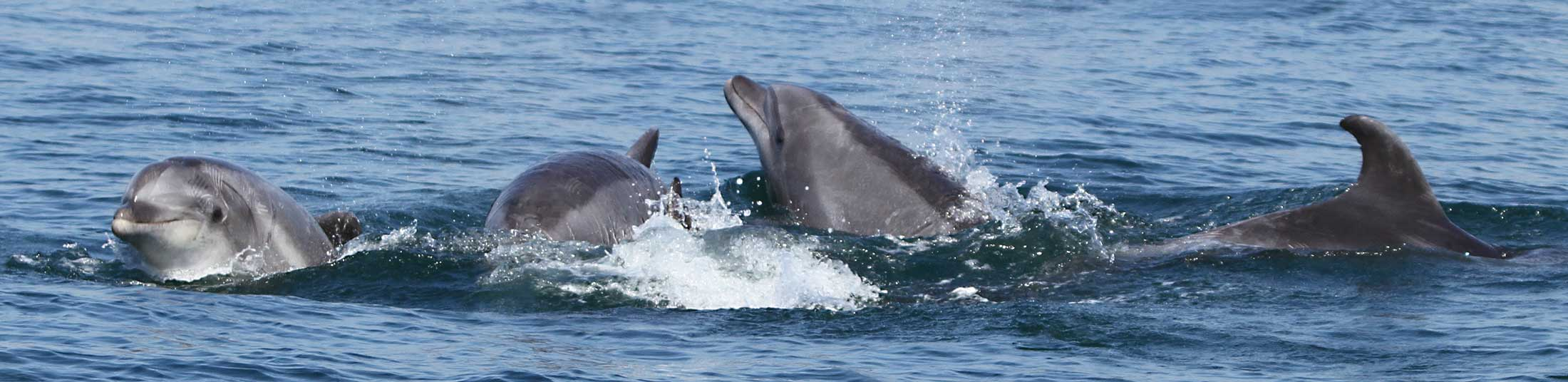 Bottlenose dolphins socializing during an Ocean Conservation Society field research survey